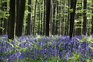 Hallerbos, el bosque de cuento de hadas a 30 minutos de Bruselas