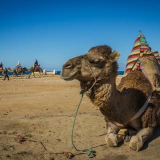 camello-marruecos
